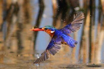 Malachite Kingfisher, Marievale Bird Sanctuary,