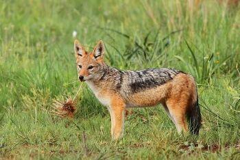 Black-backed jackal, Rietvlei Nature Reserve, Gauteng