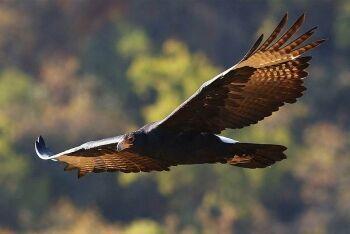Verreaux\'s Eagle, Black Eagle, Walter Sisulu National Botanical Garden, Gauteng